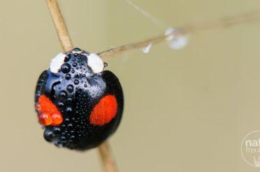 Asiatische Marienkäfer setzen sich durch
