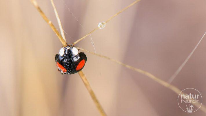 Asiatische Marienkäfer / Asian lady beetle