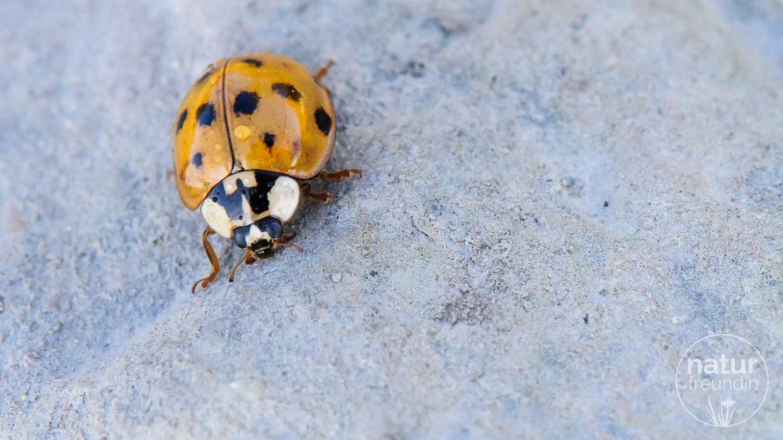 Asiatische Marienkäfer – setzen sie sich durch?