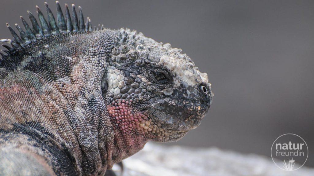 Meerechsen / Marina Iguana