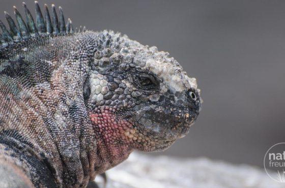 Meerechsen (Marina Iguanas) – Kobolde der Finsternis