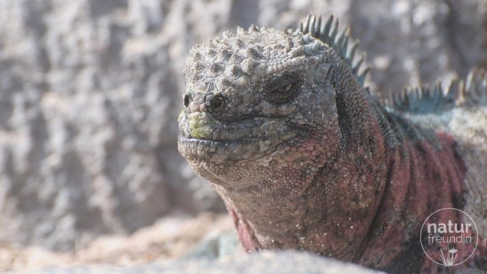 Meerechse / Marina Iguana