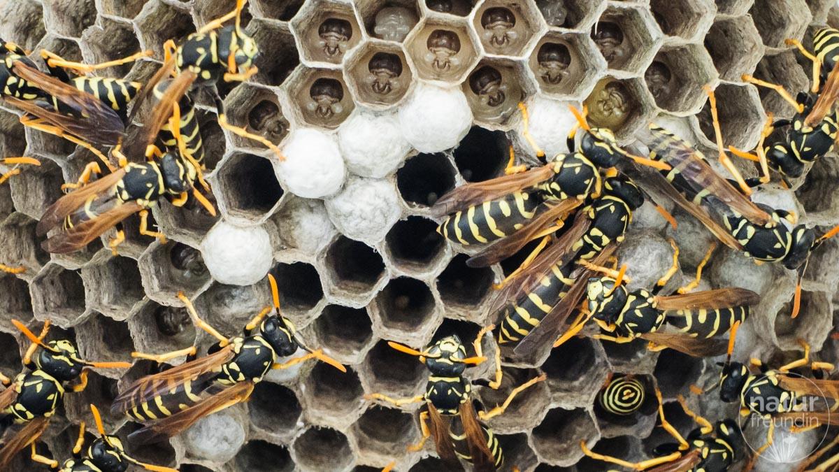 wie entferne ich ein wespennest oh oh ein wespennest und was machen wir jetzt naturfreundin at. Black Bedroom Furniture Sets. Home Design Ideas