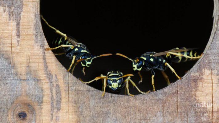 Wespen bewachen das Vogelhaus