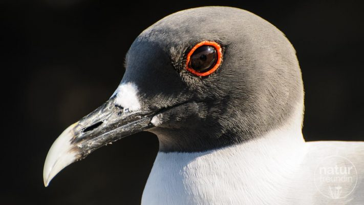 Gabelschwanzmöwe / swallow-tailed gull