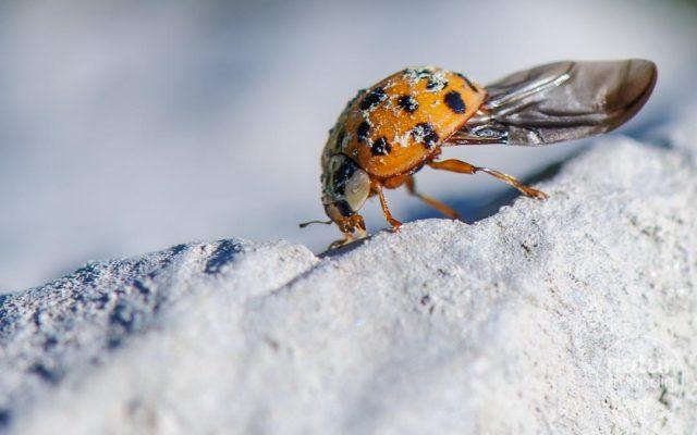Asiatischer Marienkäfer / Asian lady beetle
