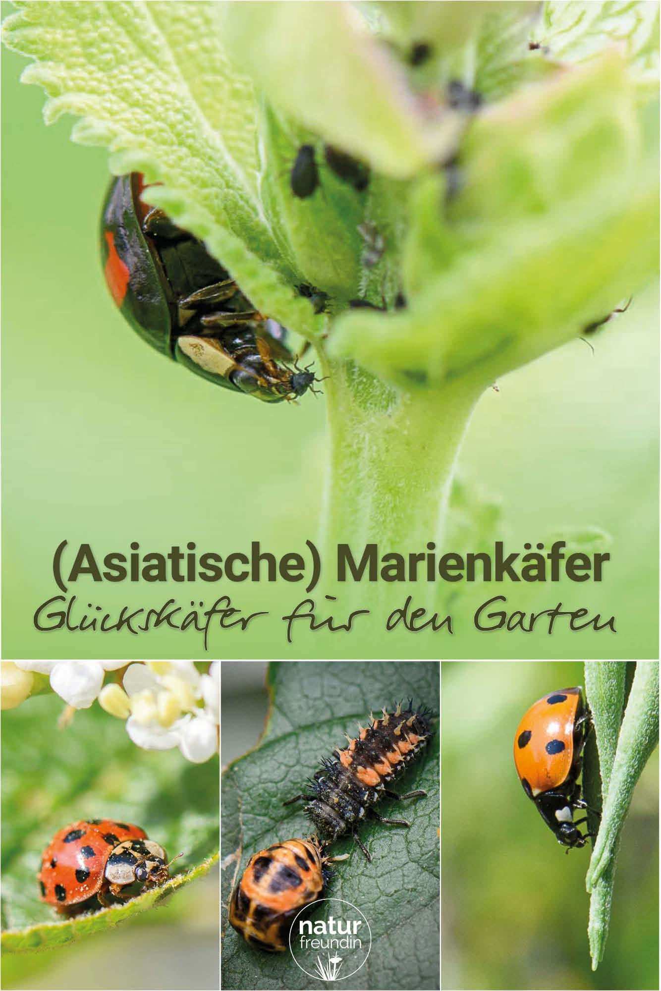Asiatische und einheimische Marienkäfer