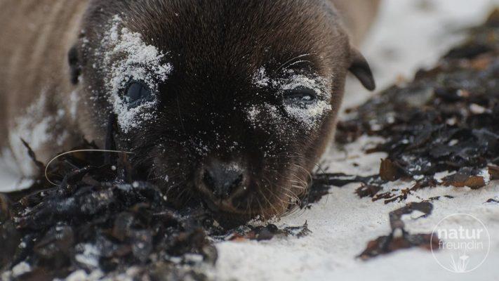 Galapagos Seelöwe