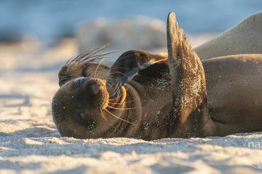 Galapagos Seelöwen, die Entertainer der Inseln