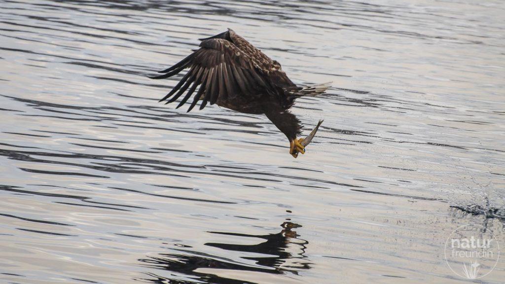 Seeadler mit Fisch, Lofoten
