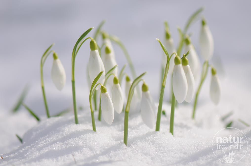Schneeglöckchen / snowdrop