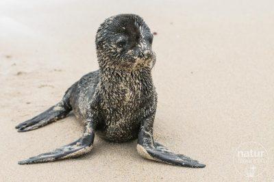 Galapagos Seelöwe / sealion