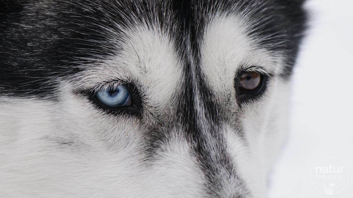 zweifarbige Augen