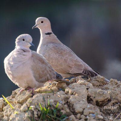 Vogelehe