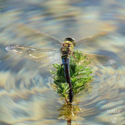 Libellen ziehen ein