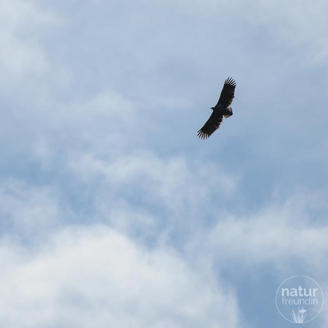 Seeadler am Himmel