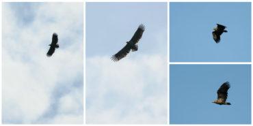 Seeadler beobachten im Nationalpark Donau-Auen