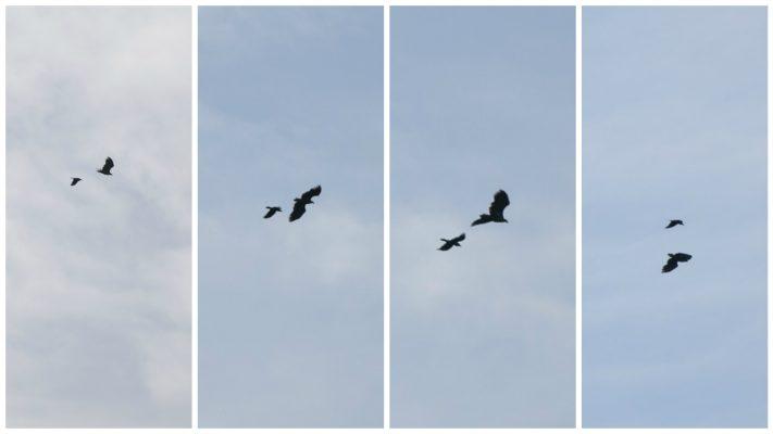 Kolkrabe jagt Seeadler