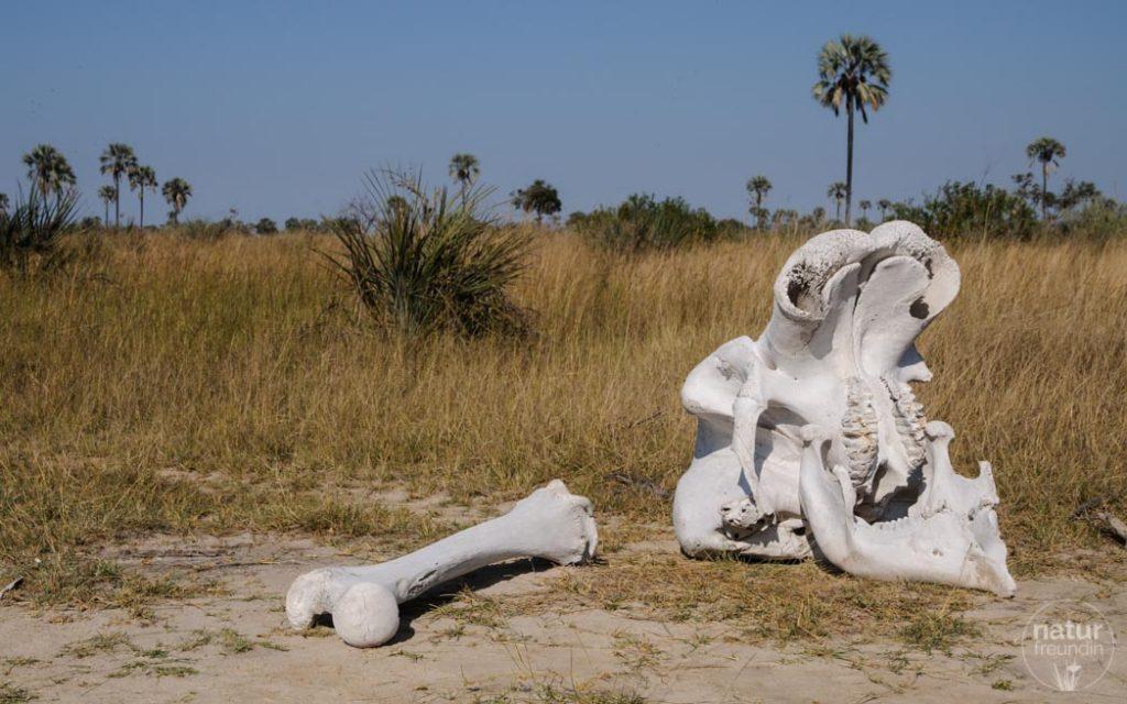 Elefantenknochen