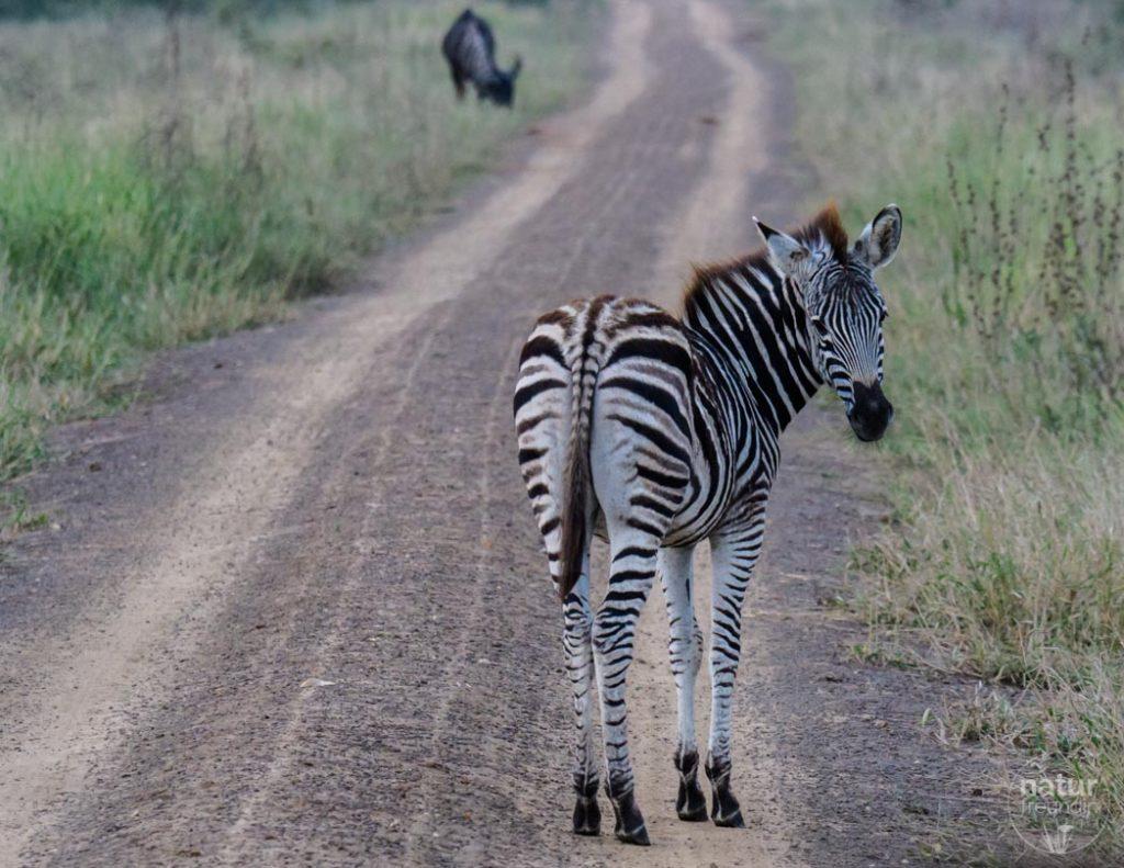 Zebra bei unserer Safari in Phinda