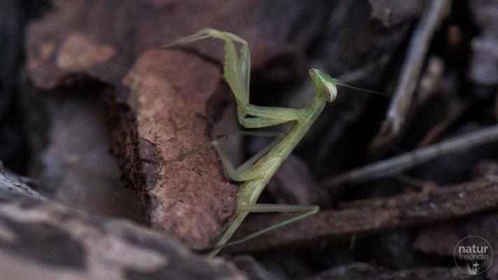 Gottesanbeterin, Mantis Religiosa
