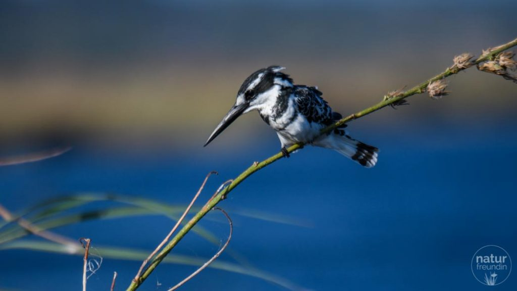 Graufischer / pied kingfisher