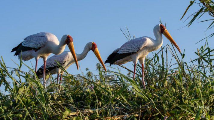 Nimmersatt Storch / yellow-billed storck