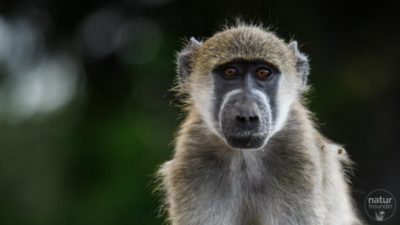 Pavian / baboon