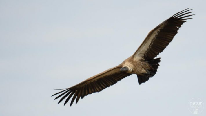 Weißrückengeier / white-backed vulture