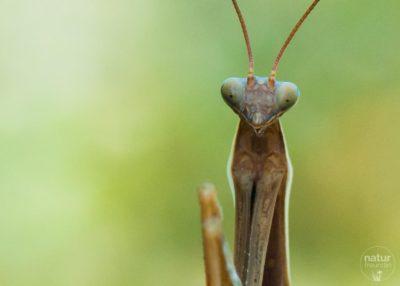 gottesanbeterin mantis religiosa