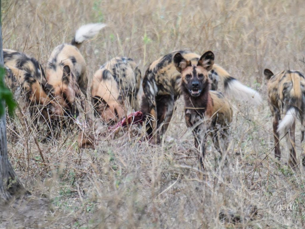 Afrikanische Wildhunde / african painted dog