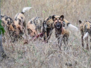 Verhör der Wildhund Bande im Chobe Nationalpark