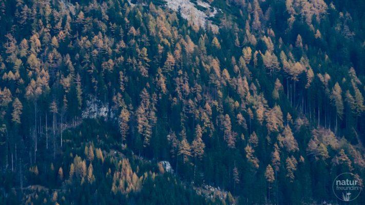 Nadelwald mit Lärchen