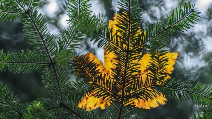 Nadelbaum mit Blatt