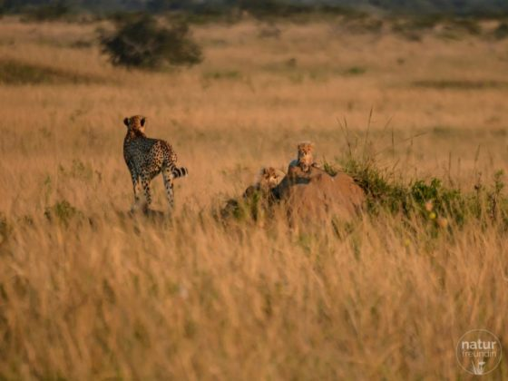 Phinda – der Safari Geheimtipp in Südafrika
