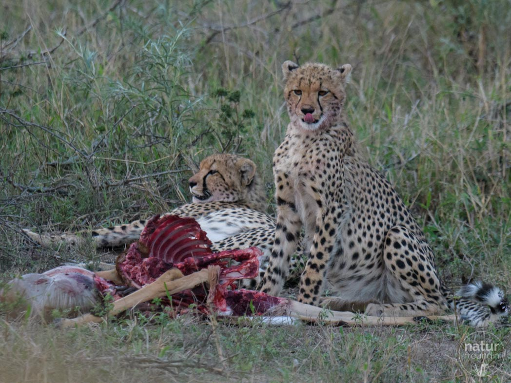 Geparden beim Fressen
