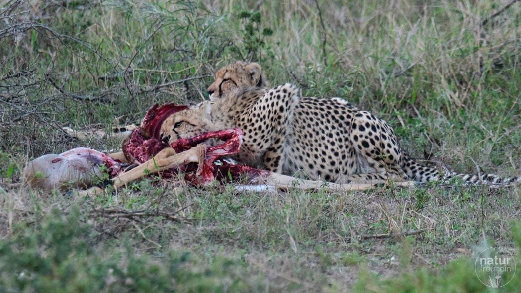 Gepard im Impala