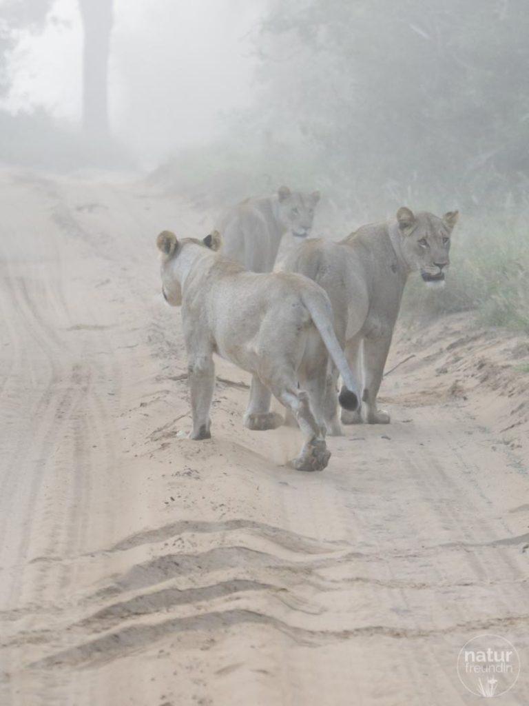 Löwen im Nebel