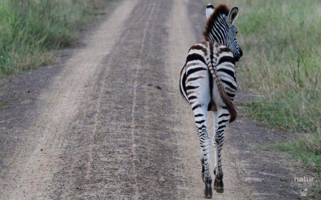 Zebra am Weg