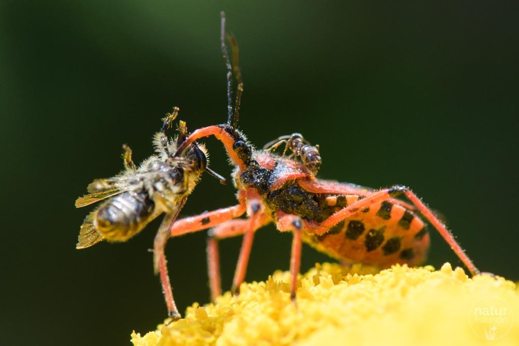 Mordswanze mit Biene