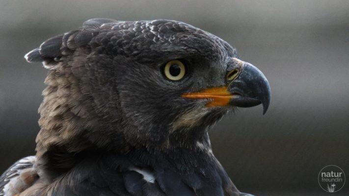 Gekrönter Adler