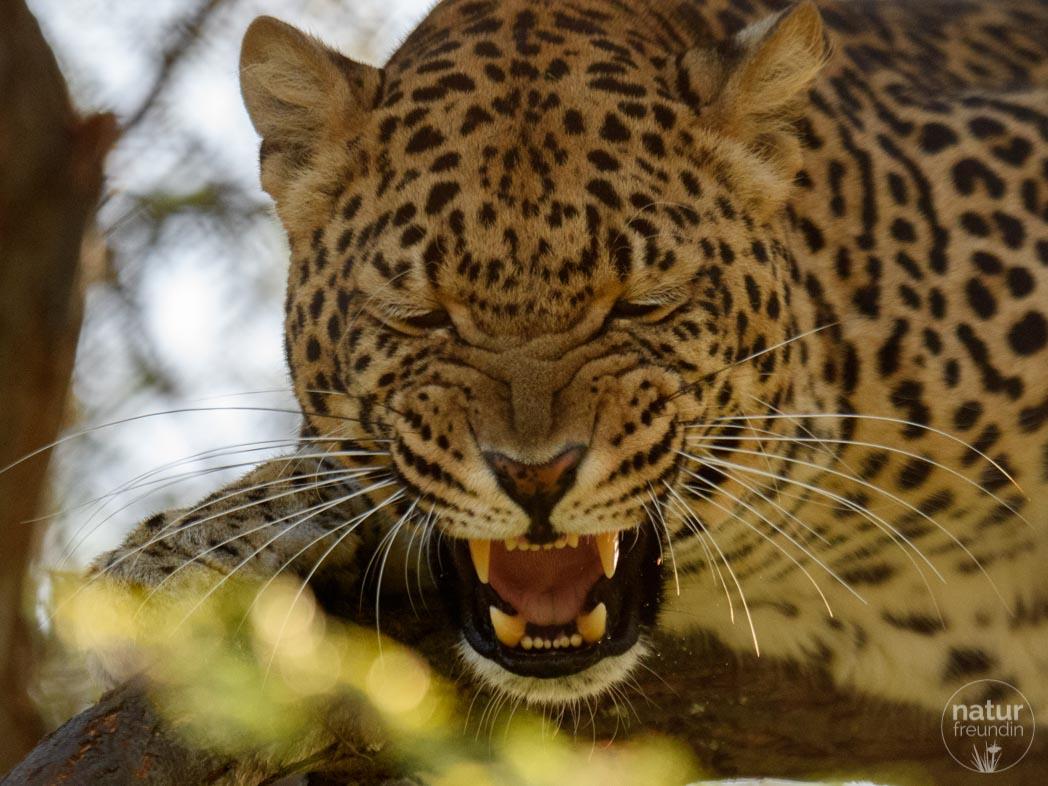 grantiger Leopard
