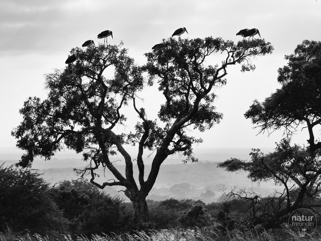 Marabus in Moholoholo