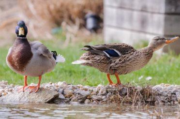 Unsere Enten – Ein Tête-à-Tête im Gartenteich