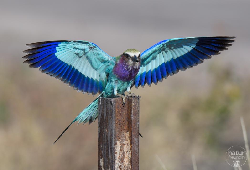 Gabelracke im Etosha Nationalpark