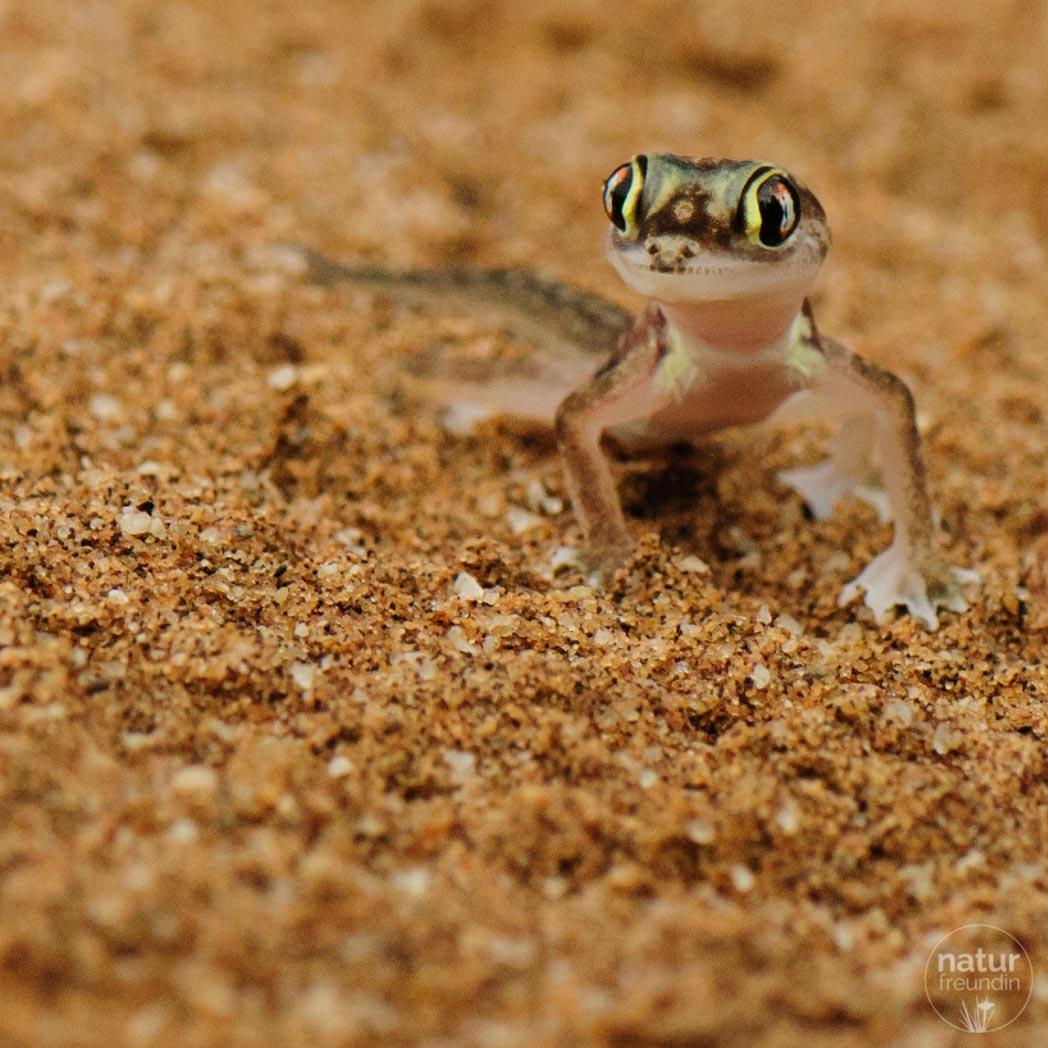 Wüstengecko, Namib