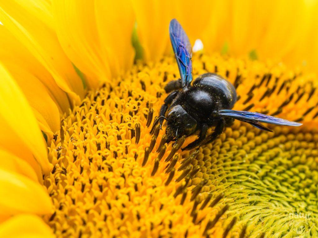 Große Holzbiene