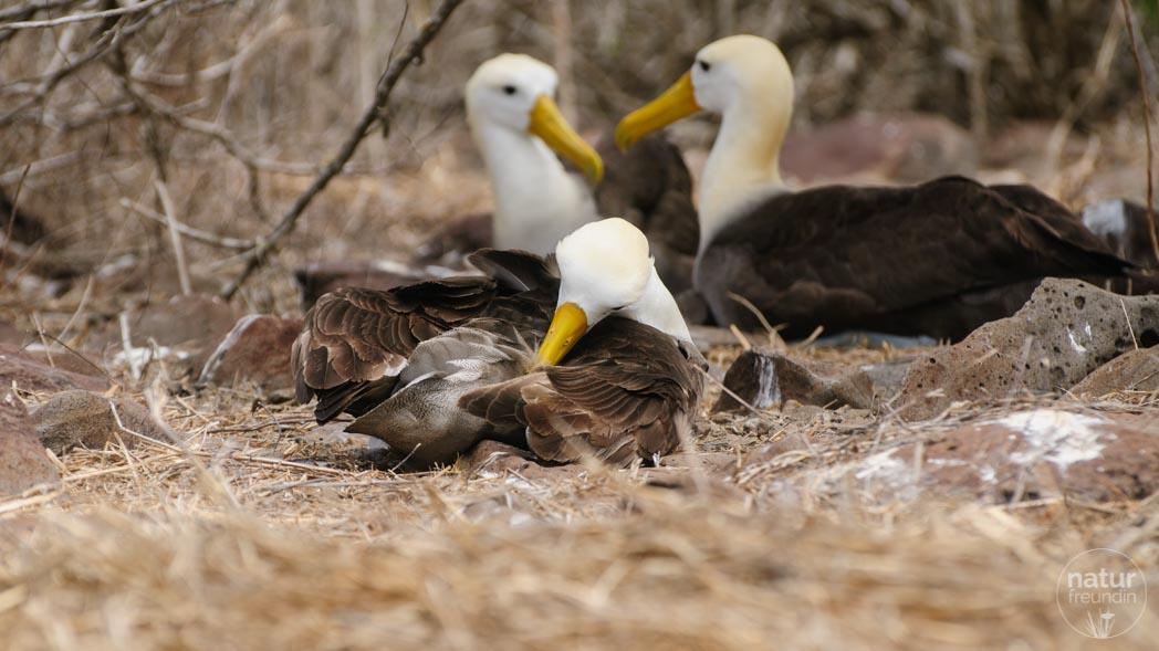 Galapagos-Albatross auf La Espanola