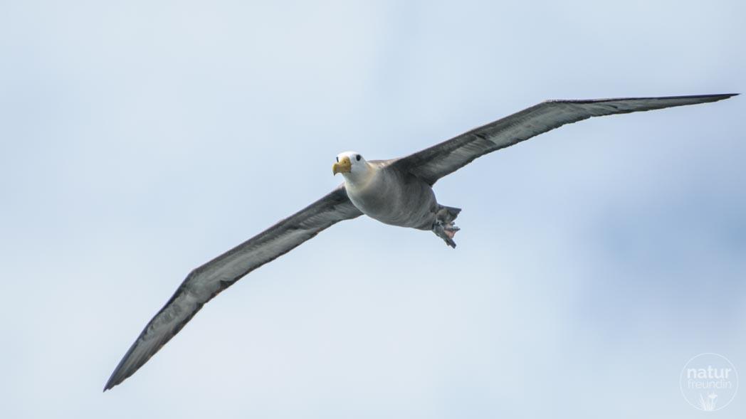 Galapagos-Albatross im Flug