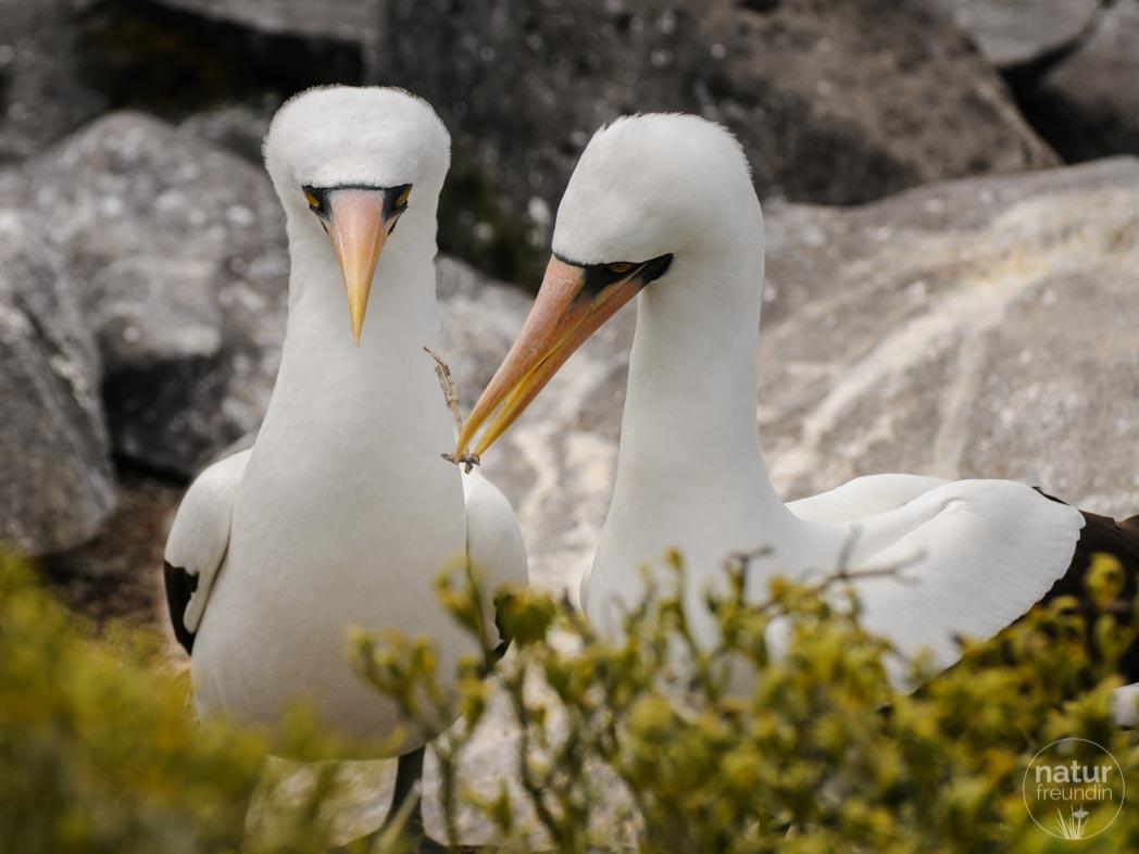 Maskentölpel Galapagos